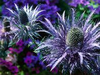 Successful planting designs combine leaf, stem and flower textures as well as colors. Pair plants with contrasting textures, such as the spiky petals of sea holly flowers with silky petals.