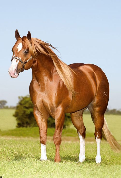 Sorrel Quarter Horse Stallion                                                                                                                                                                                 Mais