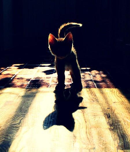 kitten. Cute: Kitty Cats, Cat Shadow, Animals, Silhouette, Kittens, Photo, Shadows, Furry Friends