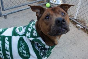 My name is NEPTUNE. My Animal ID # is A1100728. I am a neutered male brown black mouth cur mix. The shelter thinks I am about 4 YEARS old.  I came in the shelter as a STRAY on 12/30/2016 from NY 11224, owner surrender reason stated was STRAY.