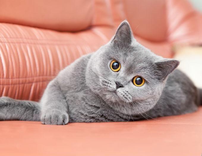 фото кота британца серого