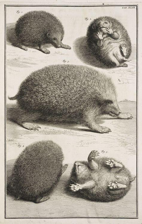 The hedgehog, 1734.