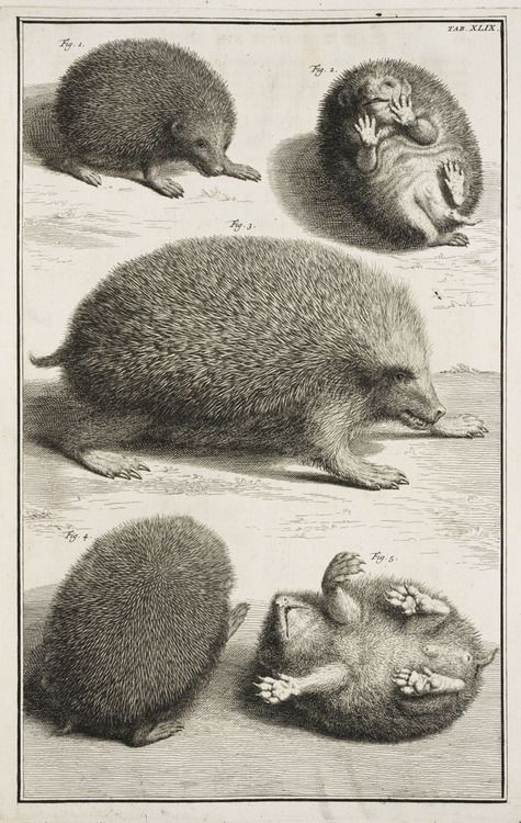 lindahall:  The hedgehog seen from several views from Albertus Seba's magnificent 1734 natural history, Locupletissimi rerum naturalium thesauri accurata descriptio.