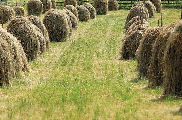 Heinää seipäissä pellolla, hay in hay post in a field, heinäseiväs hay post