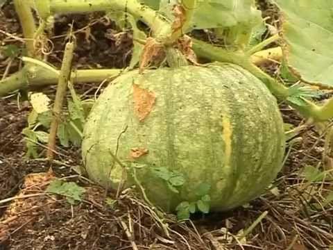 Все о выращивании тыквы на своем огороде. - YouTube