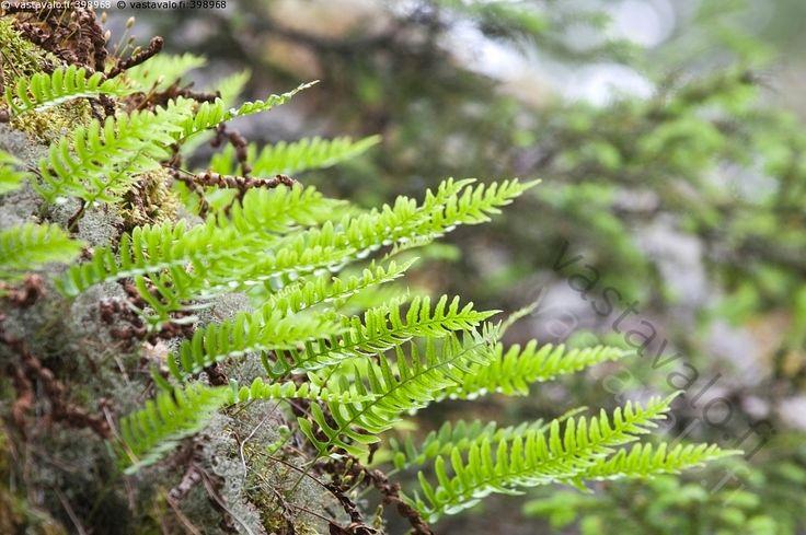 Kallioimarre - kallioimarre mesijuuri Polypodium vulgare kasvit luonnonkasvit…