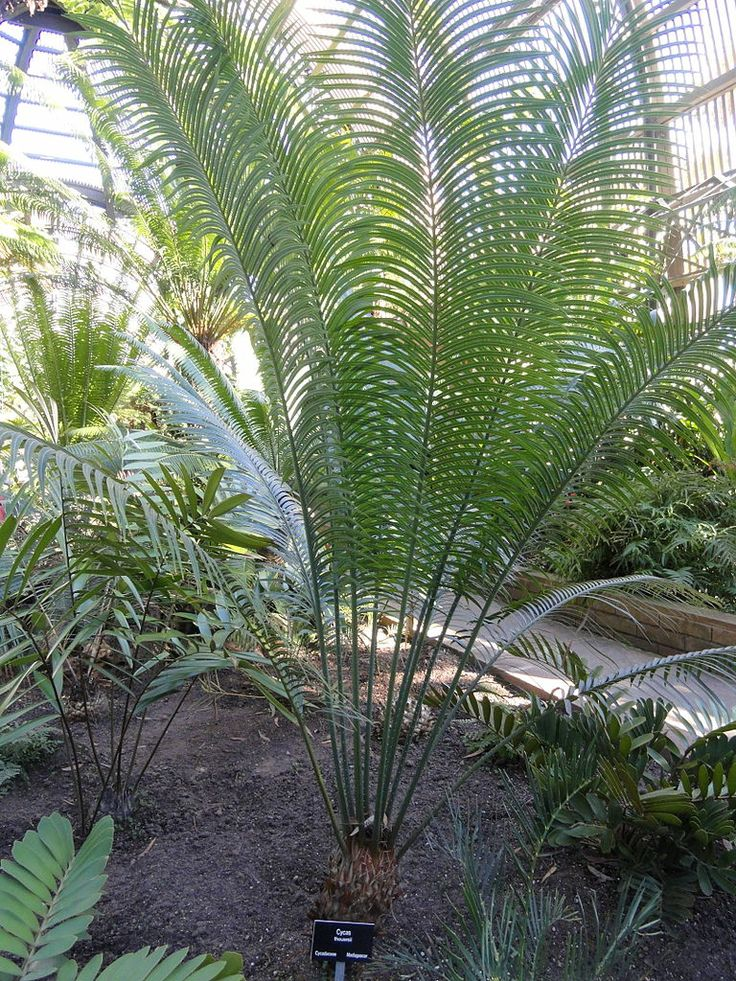 Cycas thouarsii, the Madagascar Sago. A fast-growing large cycad reaching 10 to 30 feet in the tropics.