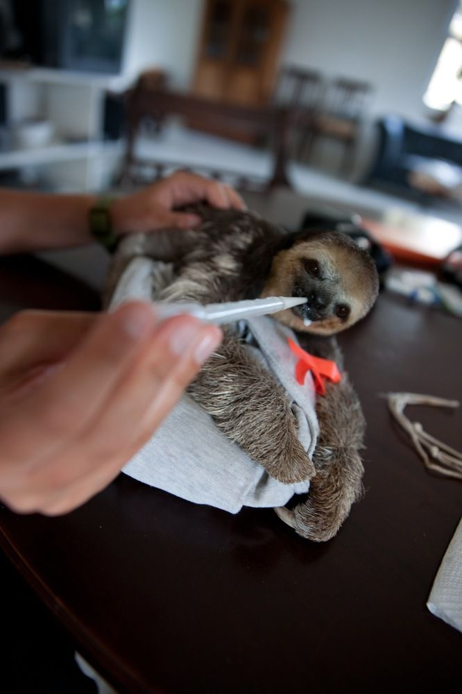 Sloth Rescue In The Guiana Shield