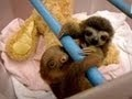 I love sloths!!  They're weird, lazy, strange-looking, and adorable.  God must've had fun creating them....