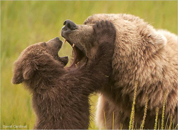 """""""After losing her other cubs, this mother Alaskan coastal brown bear became a playmate to her surviving youngster. """"Mom was amazingly tolerant of her cub pawing at her face and pretending to tackle her,"""" Cardinal says."""""""