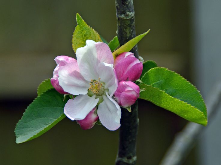 !st blossom on our Bramley Apple tree - 020515