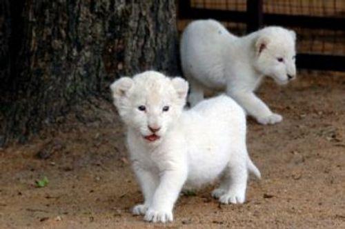 Witte Leeuwen Welpen
