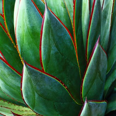 Agave 'Blue Glow' - Rosettes of smooth spineless foliage have a distinctly blue cast (A. 'Blue Flame' is similar). Leaves grow 2½ feet long. Prefers a bit of shade in low desert.