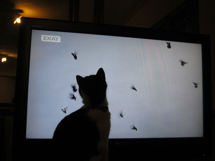 Roxanne  chasing birds on tv...