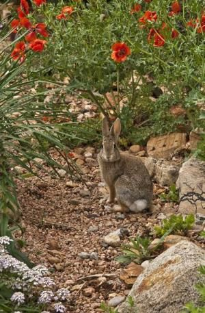 17 best images about rabbits deter on pinterest gardens - How to deter rabbits from garden ...