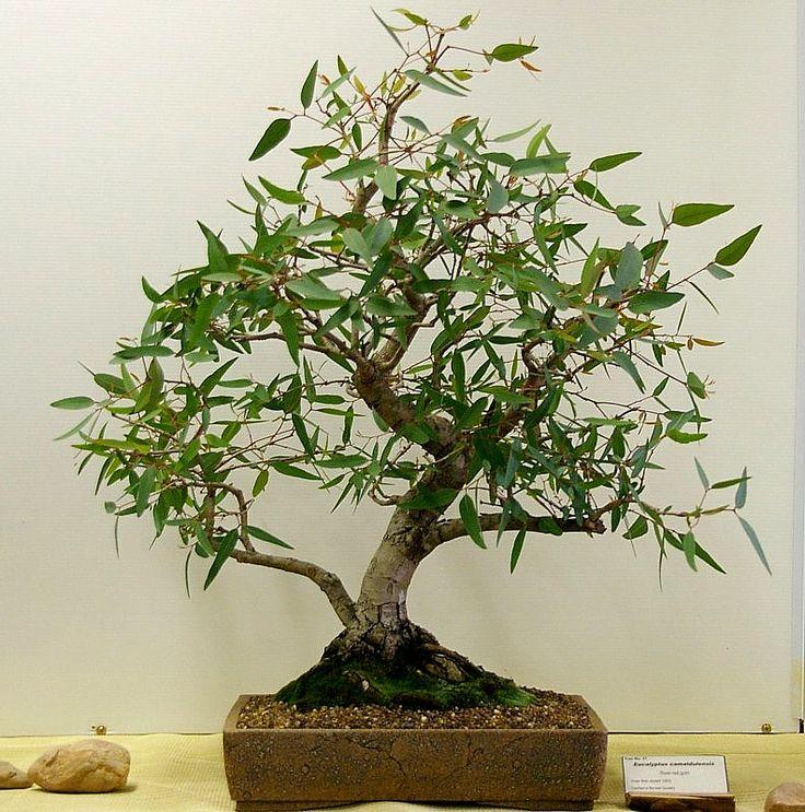 Eucalyptus camaldulensis Bonsai
