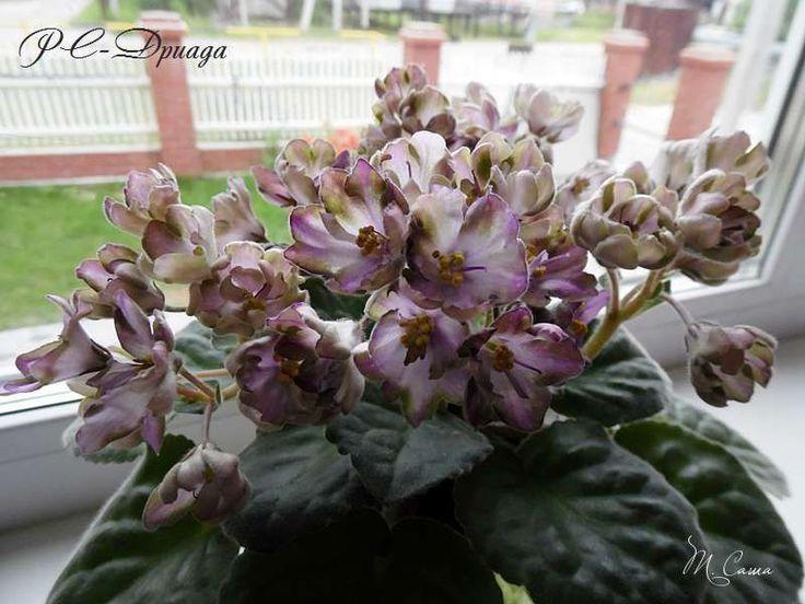 African Violet Saintpaulia Rs Driada Young Plant Rare