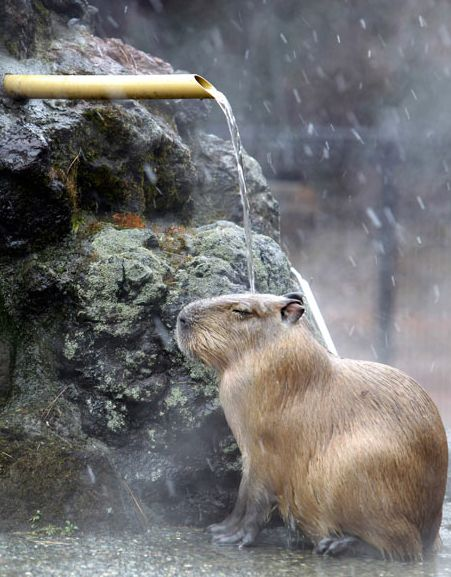 The Capybara, world's largest rodent, has a large body, coarse fur, and is semi-aquatic with partially webbed feet. They live in many countries of South America. It inhabits dense forests that are close to lakes, ponds, rivers, and swamps.
