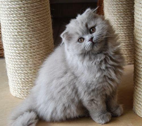 Highland Fold Cat   Ch...