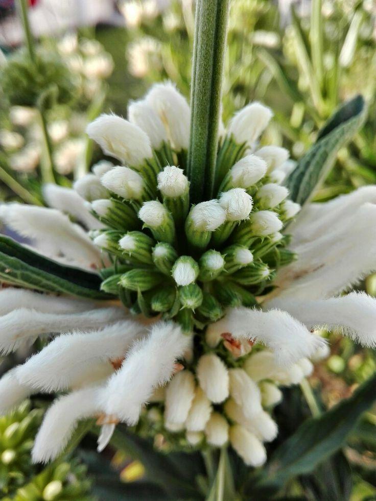 44 best choice tender shrubs images on pinterest plants shrub and wild dagga leonotis leonurus alba lions ccuart Image collections