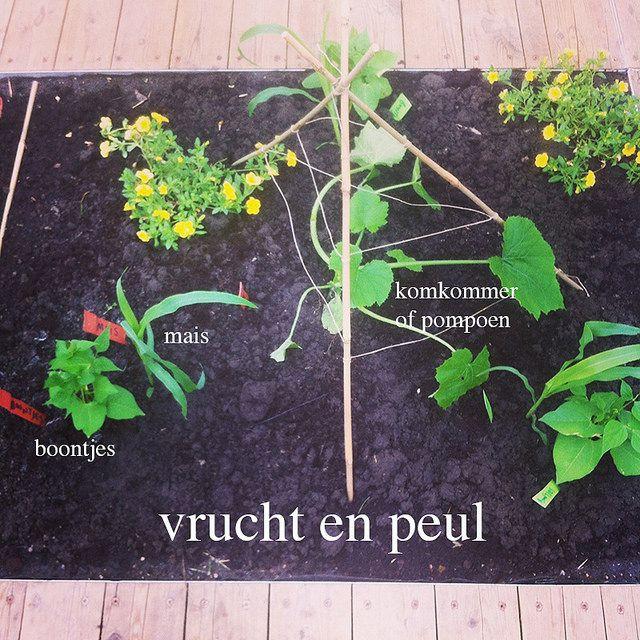 """""""De Drie Zusters"""":, mais, boontjes en pompoen samen planten. Boontjes gebruiken mais als een klimsteun, de pompoen die in het midden wordt geplant bedekt de grond (waar bonen en mais toch niks te zoeken hebben) en zorgt zo tegelijk voor een goede onkruidbestrijding en verbetert het vochthoudend vermogen van de bodem"""