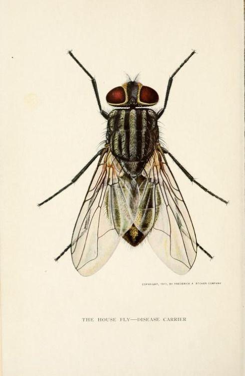 Mosca. Ilustración científica, 1911 | Historia natural, insectos