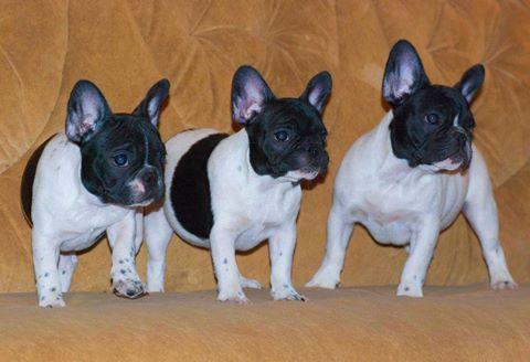 Продаются щенки французского бульдога