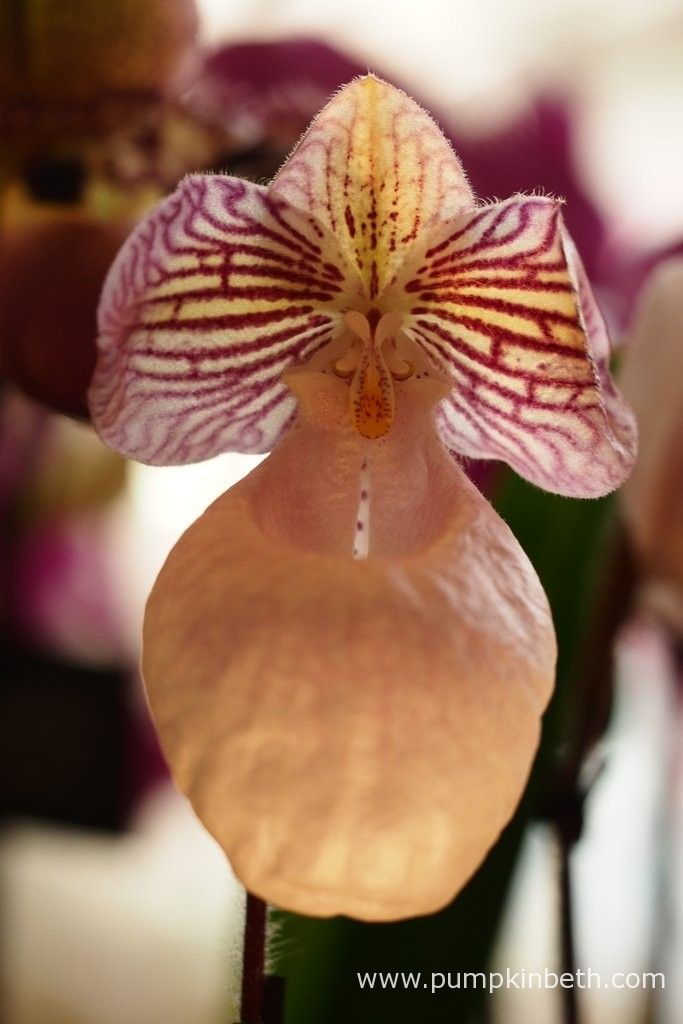Paphiopedilum micranthum at The RHS London Orchid Show.