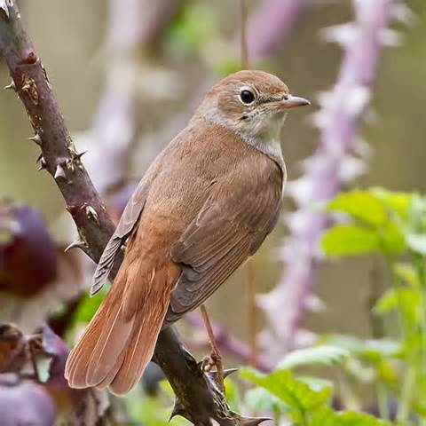 "May 15: nightingales: ""Males arrive mid-April and immediately advertise their existence through inimitable, unparalleled song."""