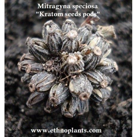 frutal de kratom, llamada Mitragyna speciosa, semillas en venta para crecer. #kratom #mitragyna #plantation