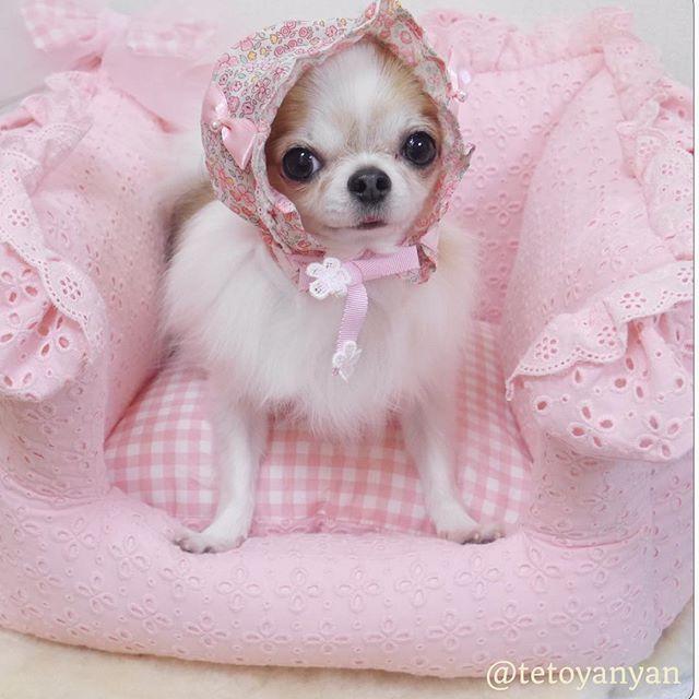 Cute female chihuahua in pink