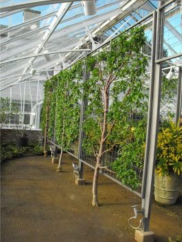 The trees in the photo are more espaliered trees from Longwood Gardens, this time nectarines.
