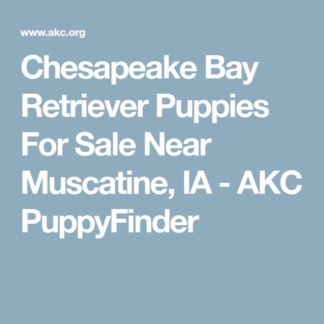 Chesapeake Bay Retriever Puppies For Sale Near Muscatine, IA - AKC PuppyFinder