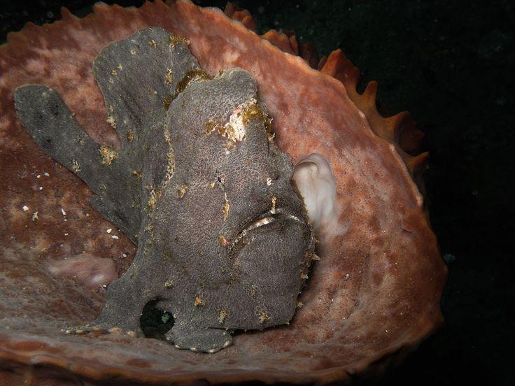 """Frog fish. """"Batu Besar"""", Nusa Dua. Photo by Olga Aya"""