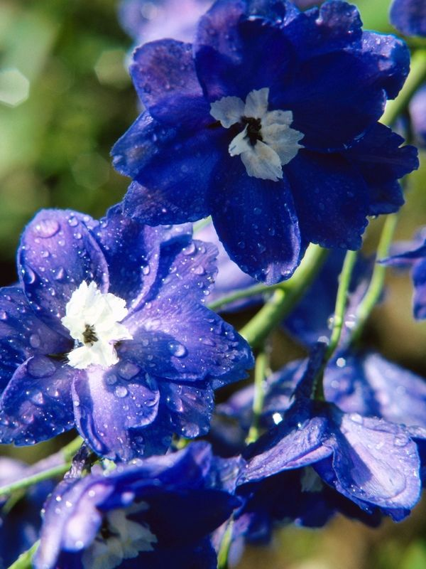 Delphiniums: How to Plant, Grow, and Care for Delphinium Flowers