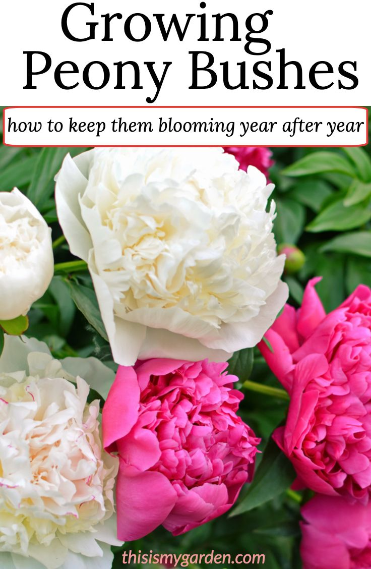 Growing Peony Bushes How To Plant Grown Maintain Blooming Peonies Year After Year In 2020 Peony Bush Growing Peonies Peony Care