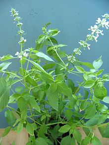 Lao basil or Lemon basil (Ocimum × citriodorum) is a hybrid between basil (Ocimum basilicum) and African basil (Ocimum americanum).Lao basil is a popular herb in Lao, Arabic, Indonesian,Persian,and Thai cuisine.Lao basil is the only basil used much in Indonesian cuisine,where it is called kemangi.It is often eaten raw with salad or lalap (raw vegetables) and accompanied by sambal.Lao basil is often used to season certain Indonesian dishes,such as curries, soup,stew and steamed or grilled…