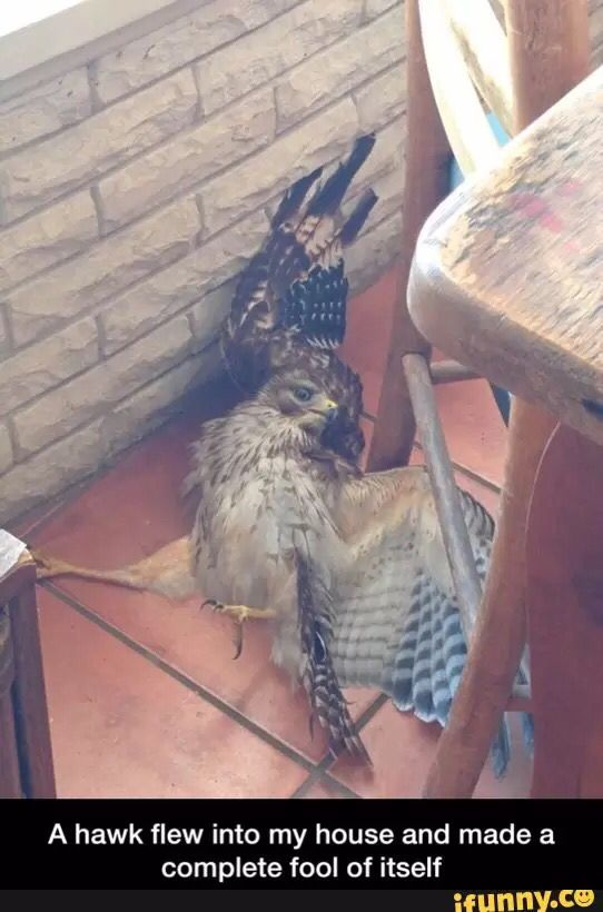 Go home, hawk, you're drunk!