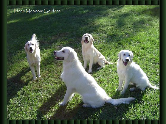 English Golden Retrievers.... similar to Golden Retrievers, but lighter and tend to shed a little less.