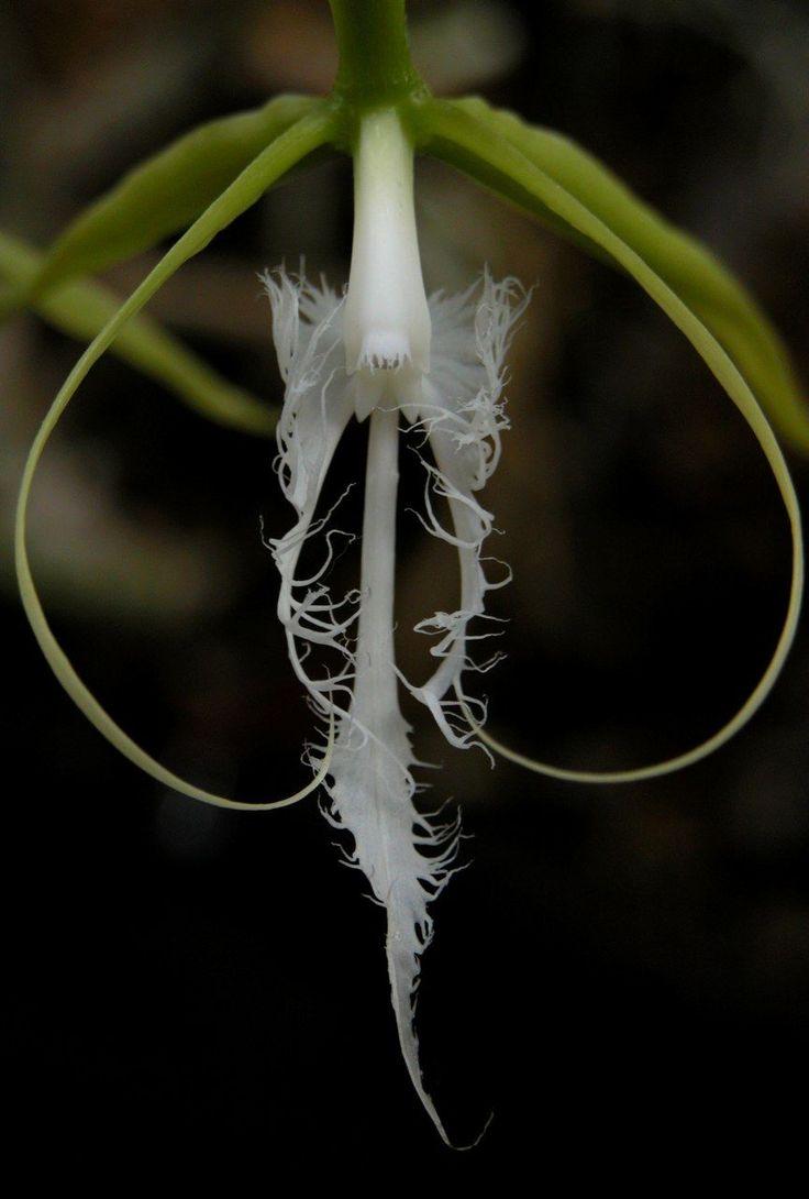 Coilostylis ciliaris