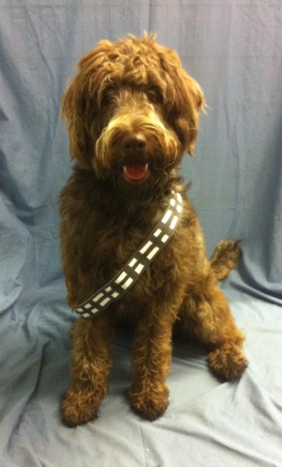 The Laziest But Best Quick Chewbacca Costume Big Dog Halloween