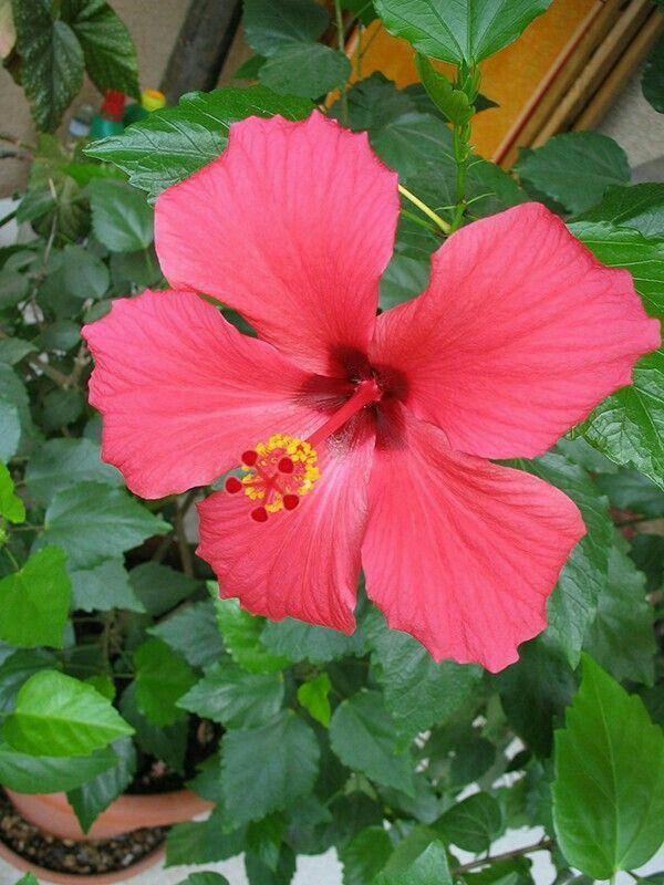 Pin By Eva Felde On Hawaiian Flowers Hibiscus Plant Growing Hibiscus Hibiscus Flowers
