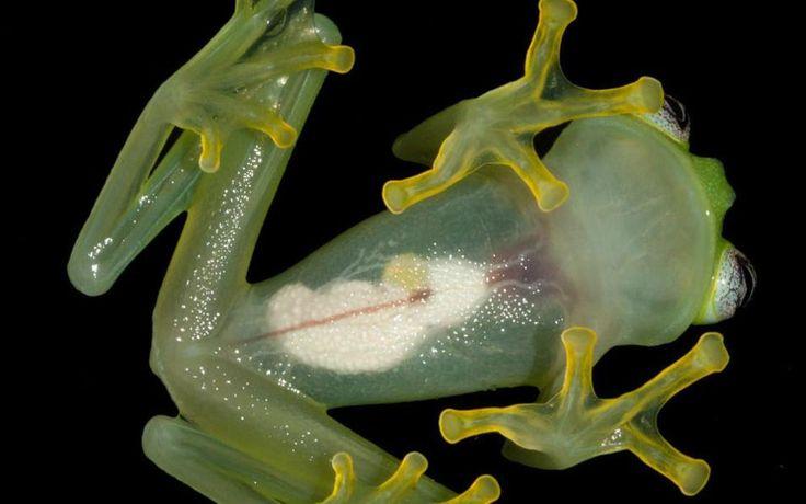 Κρυστάλλινος βάτραχος. Η επιστημονική του ονομασία είναι  Hyalinobatrachium dianae και ανακαλύφθηκε πριν από 40 χρόνια στα τροπικά δάση της Κόστα Ρίκα, έχοντας το μοναδικό γνώρισμα ότι μπορεί κανείς εύκολα να παρατηρήσει τα εσωτερικά όργανά του. EPA/Brian Kubicki / Costa Rican Amphibian Research Center