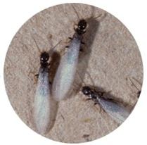 Fall termite swarms. How to avoid infestations.
