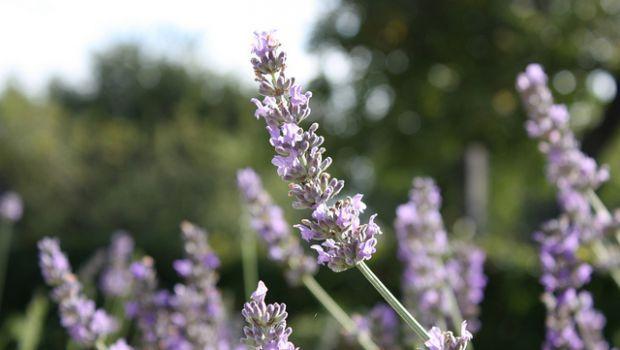 La crema doposole profumata alla lavanda fai da te - Lavender after sun lotion DIY