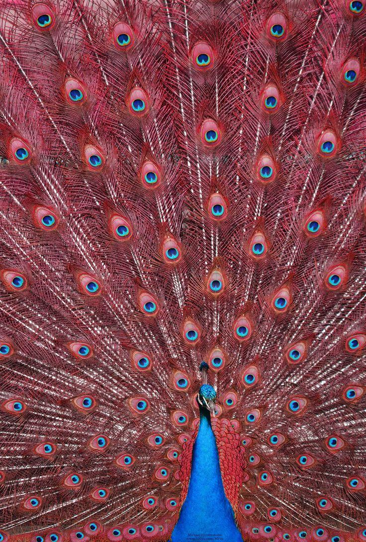 28 best Peacock living room images on Pinterest | Peacock art ...