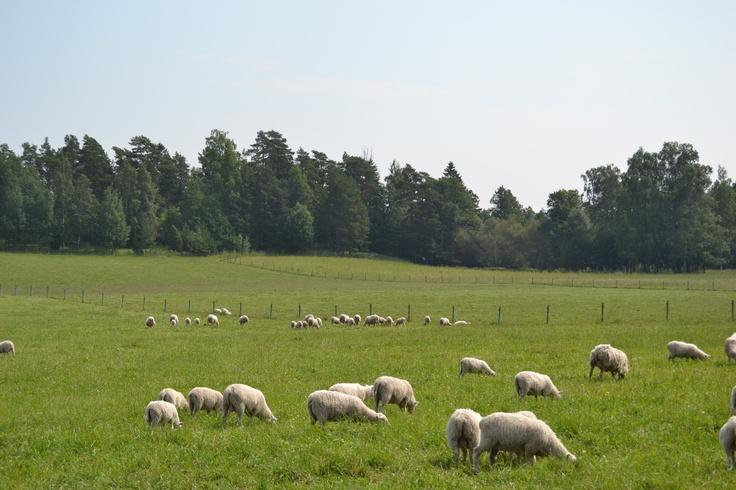 Suomen lammastuotannosta noin 8 % on luomua.
