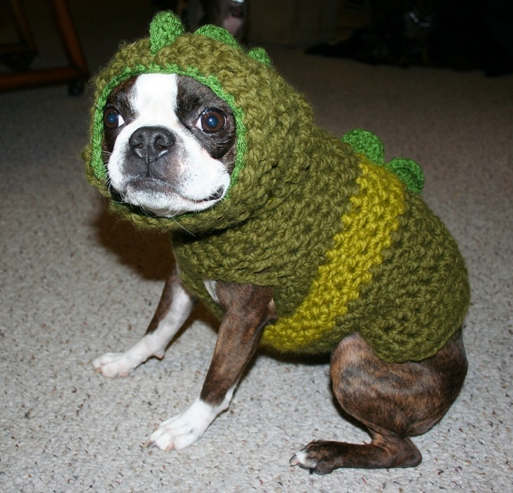 Connu Boston terrier in a sweater – Dog life photo WY29