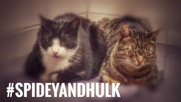 I'd love to hear your thoughts! Morning Mood of Spidey and Hulk https://youtube.com/watch?v=L16RiARHka0   #cats #animals #catstagram #catsofig #catsagram #humor #catsofworld #catslover #ilovecats #humour #catsofinsta #cuteanimals