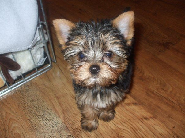 Oliver, when he was a puppy <3 Yorkshire Terrier Puppy